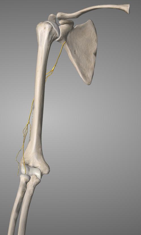 radial nerve iso